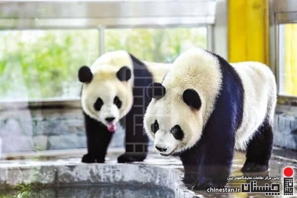 guangzhou-zoo-panda